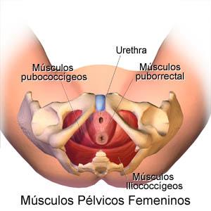 musculos pelvico femeninos